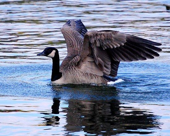 canada-goose-folds-wings.jpg