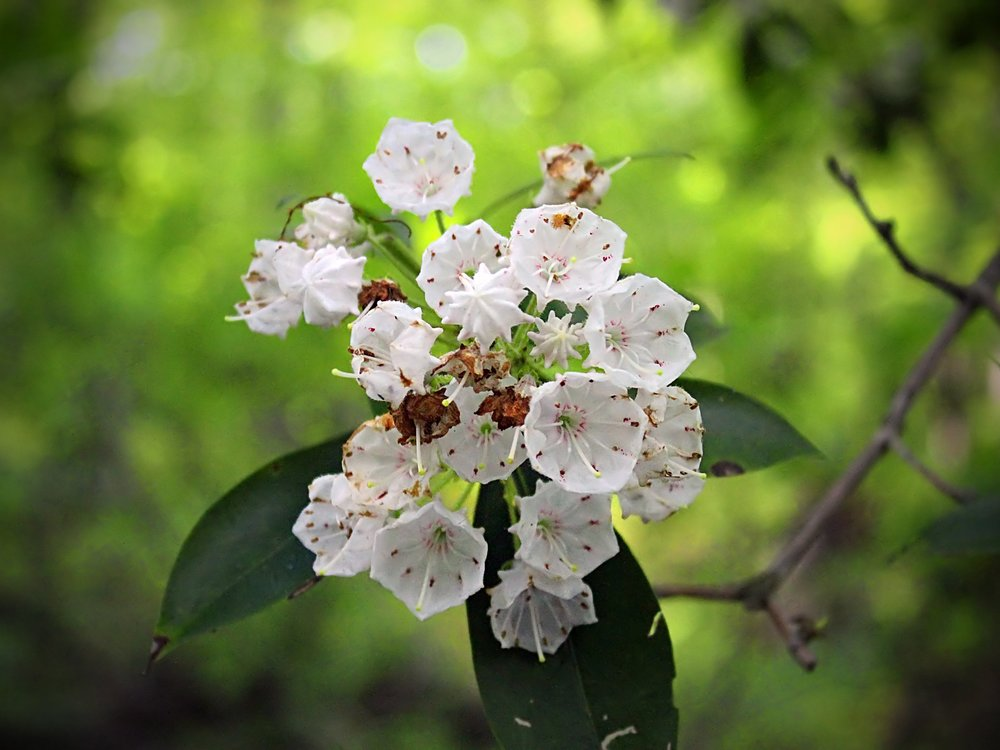 Mountain Laurel Nicholas A Tonelli.jpg