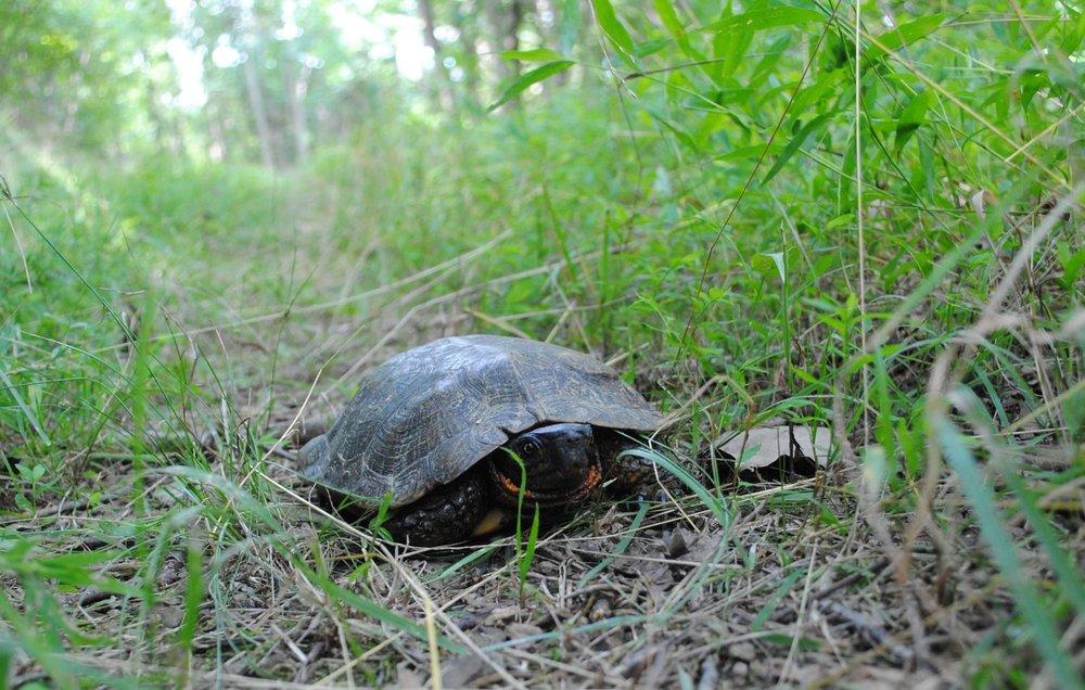 wood turtle.jpg