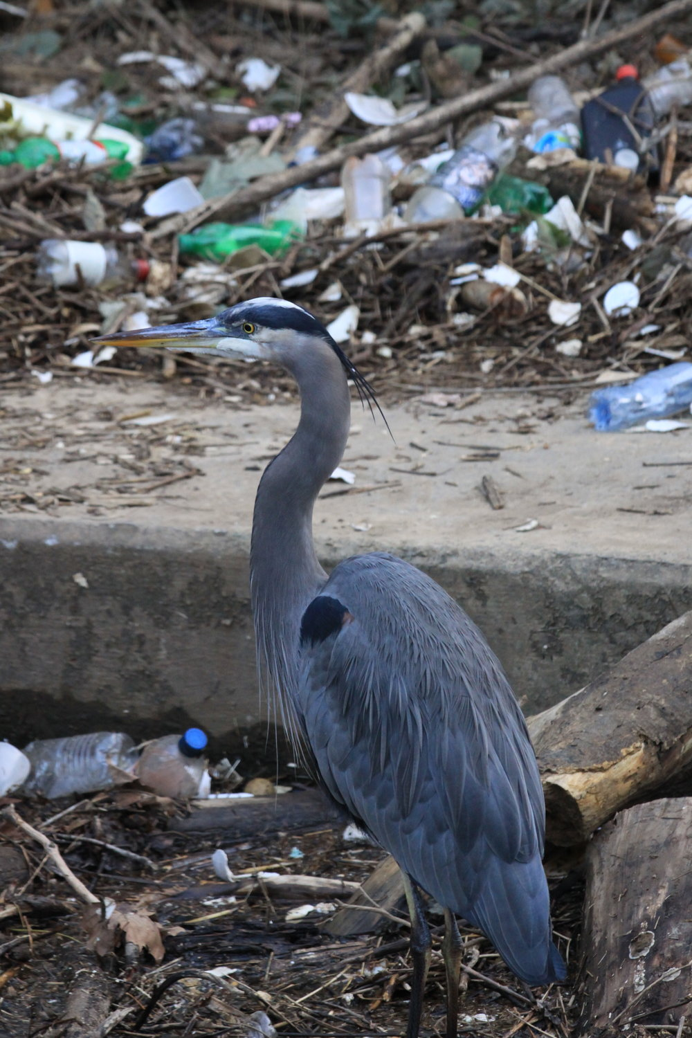 Great Blue Heron surrounded by trash. Photo by  Wyoming_Jackrabbit  via flickr.