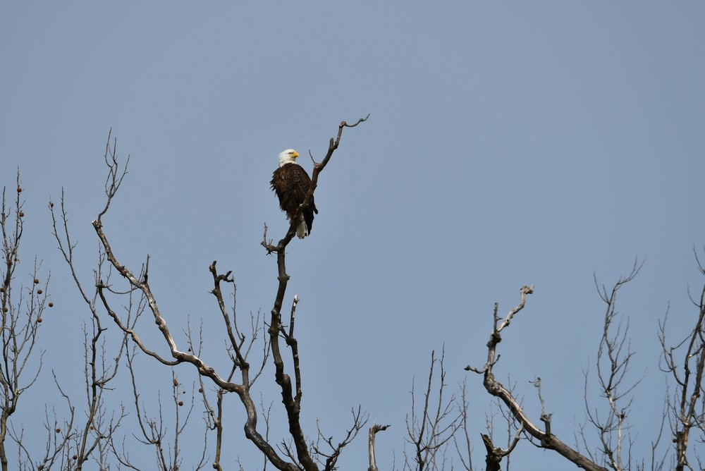 A bald eagle watches over home and family. This is one of three eagle nests in the Great Falls area this year with hatchlings. The proximity of the nests tells naturalists that the area's ecosystem is improving.  Photo by Christina Tyler Wenks