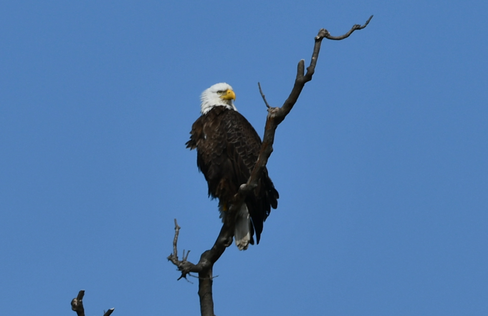 Perched high above the Potomac River is a symbol of the United States of America. The eagle population is building — an indication of improving Potomac River health. This mother protectively watches eaglets. Females are bigger and have lighter feather edges than males.  Photo by Christina Tyler Wenks