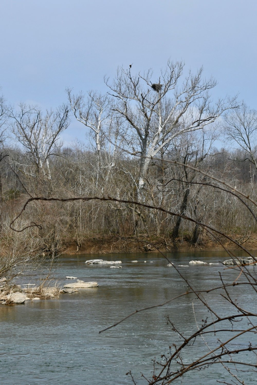 More than 150 species of birds have been seen at Riverbend Park and Great Falls National Park and nearly 100 species have nested there. For a second year, eagles nested in this tree on an island in the Potomac River above the falls. Eagles normally lay one or three eggs per year, but usually lay two off-white eggs about 3-inches wide, which take 35 days to hatch. Young eaglets stay in the nest for 10-12 weeks before fledging.  Photo by Christina Tyler Wenks