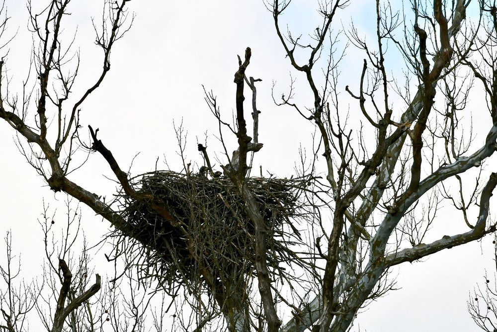 The nest is more crowded as youngsters grow. A perch over the Potomac provides fishing opportunities and a place for young to observe and learn.    Video and photos confirms three eaglets in the Potomac River island nest near Riverbend Park in Great Falls, Virginia.  Photo by Christina Tyler Wenks
