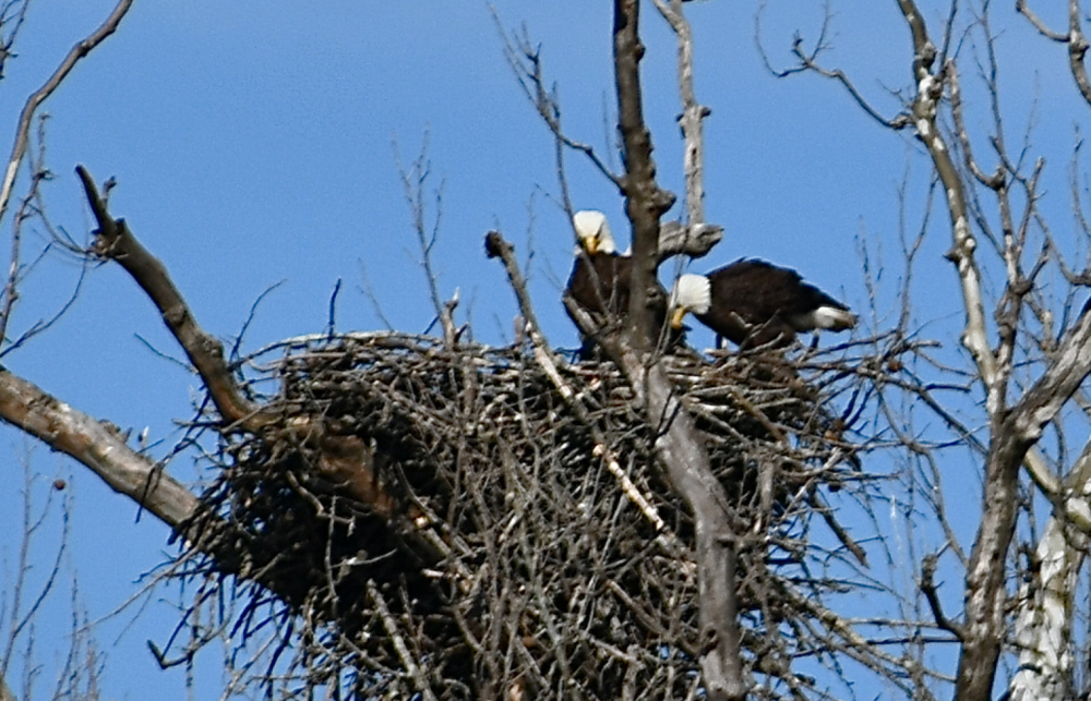 Bald eagles nesting on Minnehaha Island reinforce their nest with large sticks after an early March windstorm in the Mid-Atlantic.  Photo by Christina Tyler Wenks