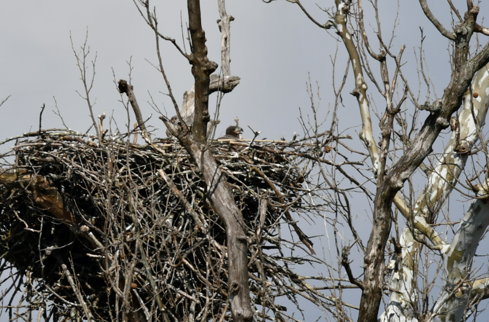 An eaglet waits for food and peers out of its nest that sways over the Potomac River.  Photo by Christina Tyler Wenks