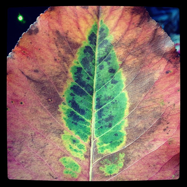 And finally, for this Fall post, this is a real leaf I found at the market. It's a leaf print on a leaf. I love it.