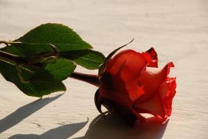 rose-1382102-m.jpg