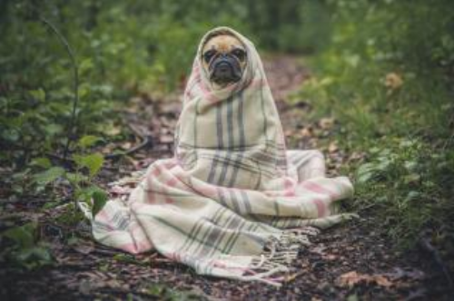 Dog wrapped in blanket from Stockvault.net