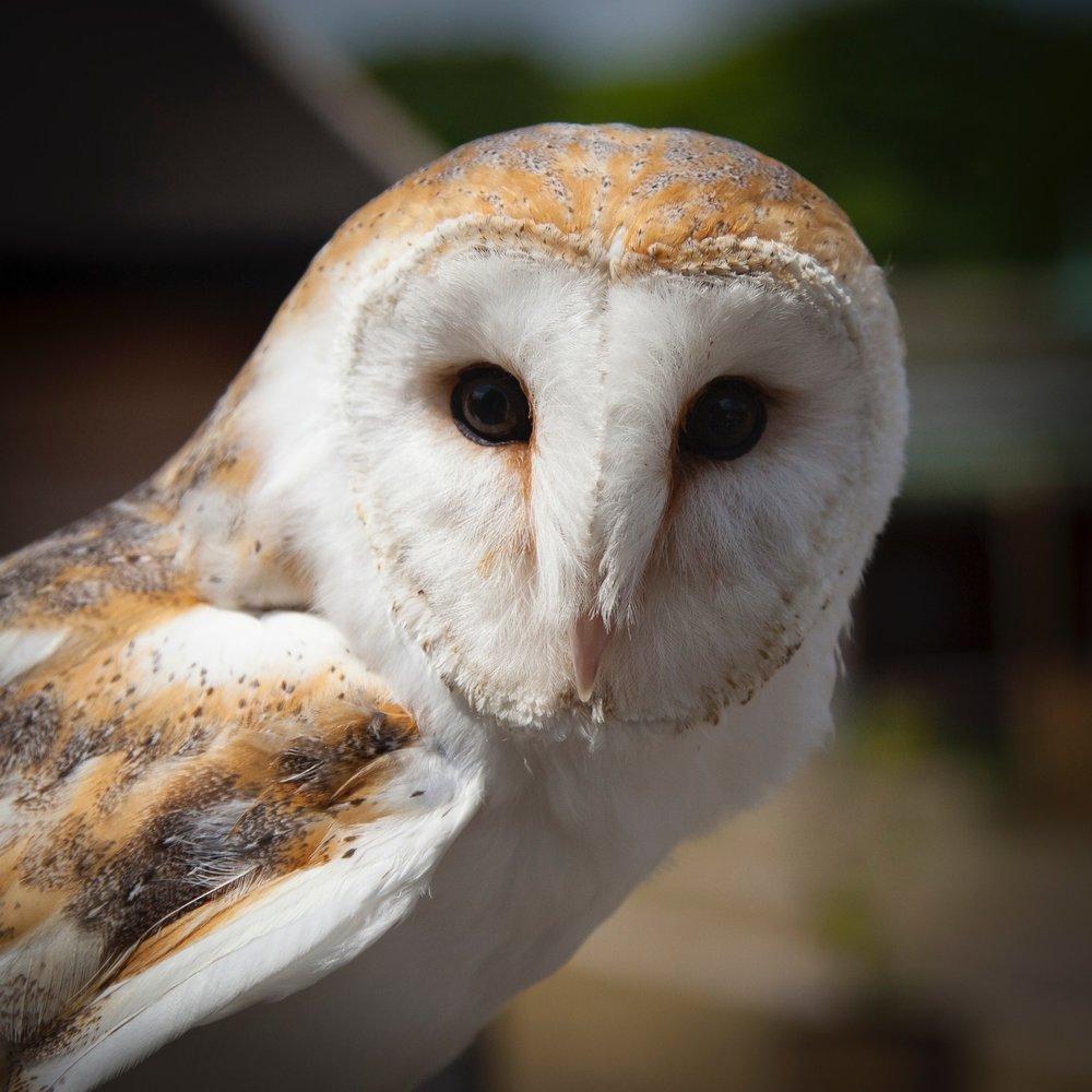 animal-animal-photography-barn-owl-105810.jpg