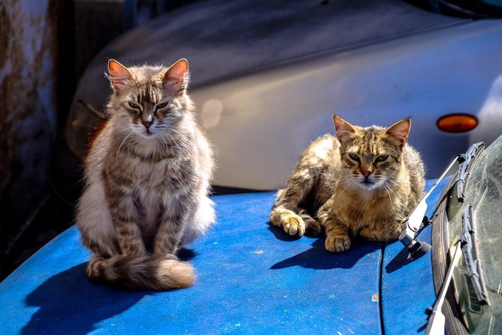 animals-cars-cats-96399.jpg