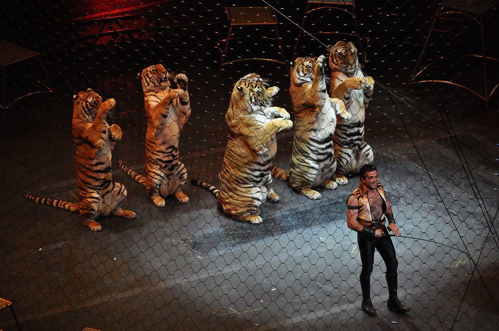 1280px-Ringling_brothers_over_the_top_tiger.JPG