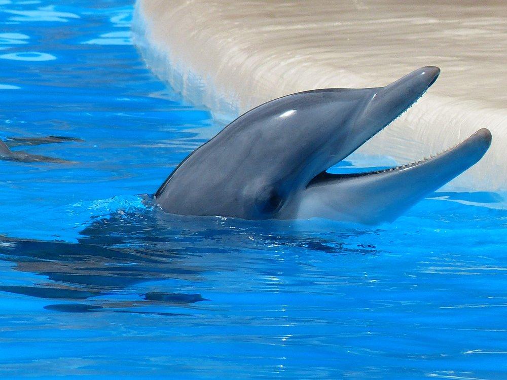 A bottlenose dolphin in captivity. Photo courtesy of pexels.com