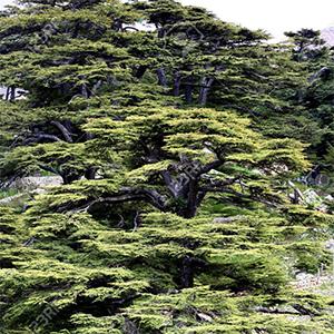 Catalyst §28  The Cedar Tree at Verdens Ende (Tree 2)