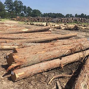 Catalyst §29  The 256 Cedar Branches (Produce 2)