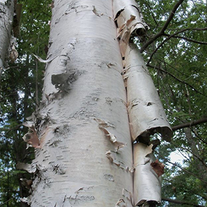 Catalyst #40  The Bark of the Mountain Birch (Produce 5)
