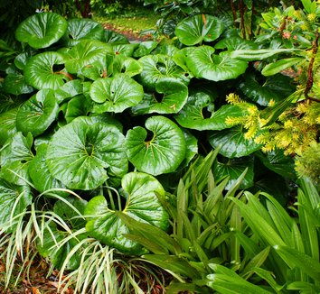 Farfugium japonicum giganteum - Giant Leoard Plant Zones: 7-10 Part sun - Full shade Medium water