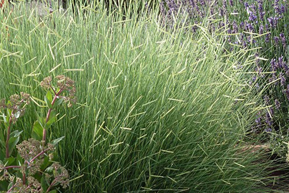 Plant of the Week - Bouteloua gracilis — WESTSHOP