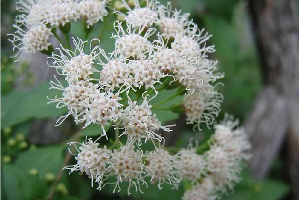 landscape_plants_White mistflower.jpg