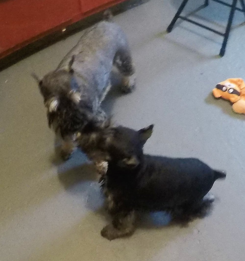 PollyAnna with Mom, Lizzy - PollyAnna with Mom, LizzyDid you know that miniature schnauzers are born black and they lighten up and markings appear as they grow.  Pollyanna is a salt and pepper like her momm