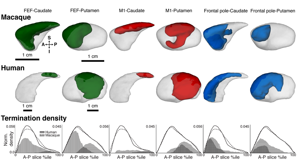 Cortico-striatal pathways terminate in different striatal zones between macaque monkeys and humans