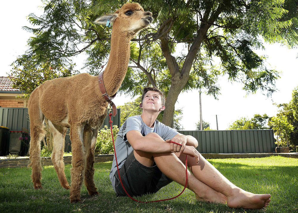 CHP_Export_133063665_Matt 13 and his Alpacca %27Chewy%27 at their Somerton Park.    mum doesn%27t want sur.jpg