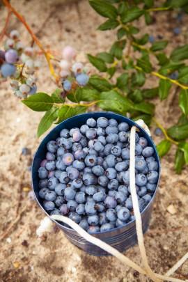Blueberry-CSA-7-2014-Post-07-e1404401507510.jpg