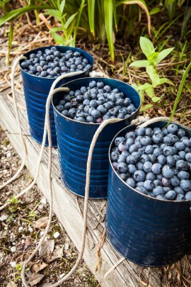 Blueberry-CSA-7-2014-Post-10-e1404401748119.jpg