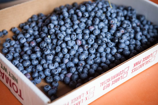 Blueberry-CSA-7-2014-Post-13-e1404400931254.jpg