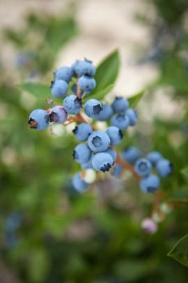 Blueberry-CSA-7-2014-Post-add-01-e1404400353218.jpg
