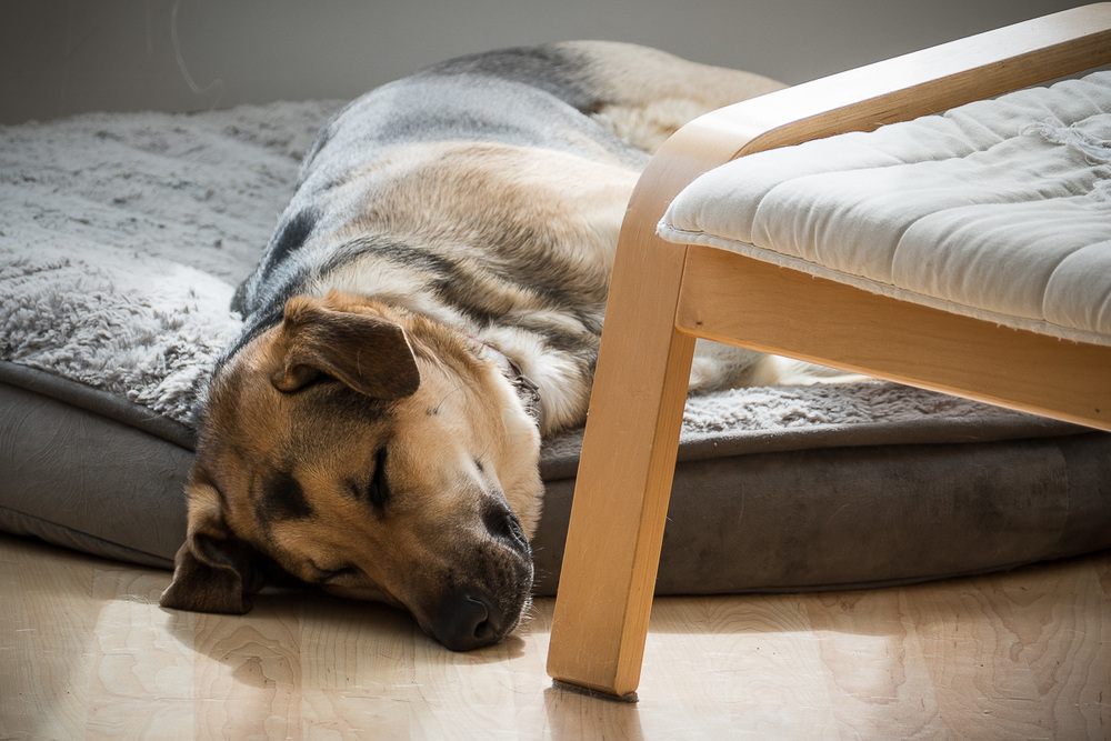 Tired dog