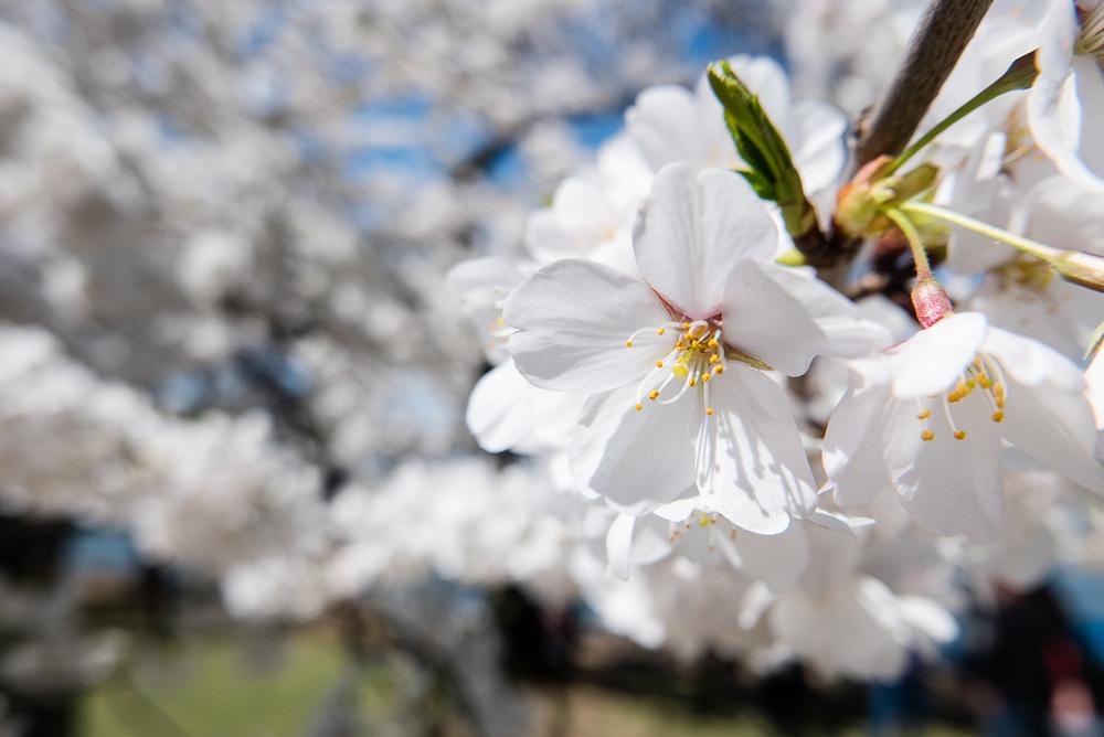 Les cerisiers en fleurs de Washington