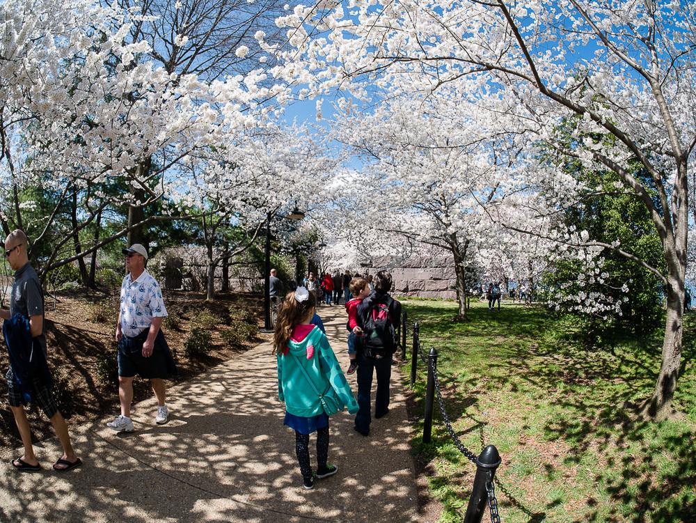 Les cerisiers du Roosevelt Memorial