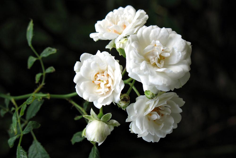 Fran's Roses