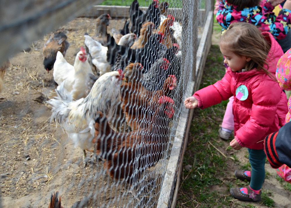 Here Chick Chick. First school field trip to Red Barn Farm, Weston, Mo. More Photos: Field Trip