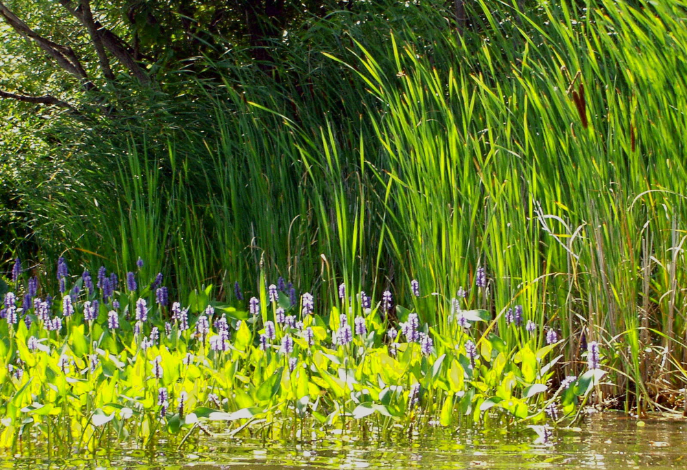 8Pickerel Weed.jpg