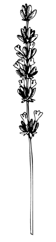 lavender-white-bg.png