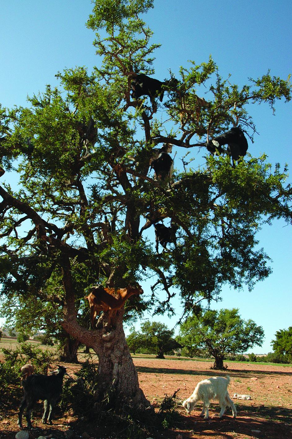 Argania Argan Tree 2.jpg
