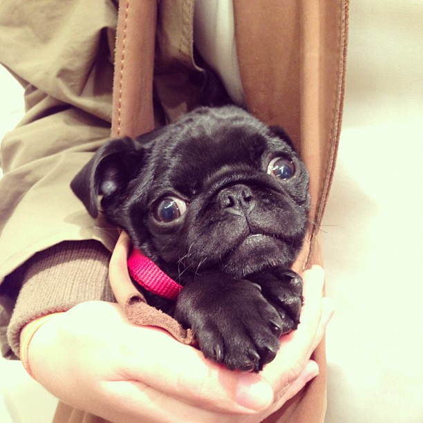 #pug#pup#pugstagram#puglife#pupinapurse#puppy#dog# @huxxi (at Madewell)