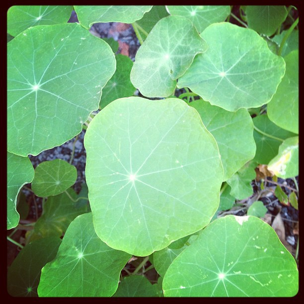 Healthy nasturtiums in my garden, which will die when winter comes.
