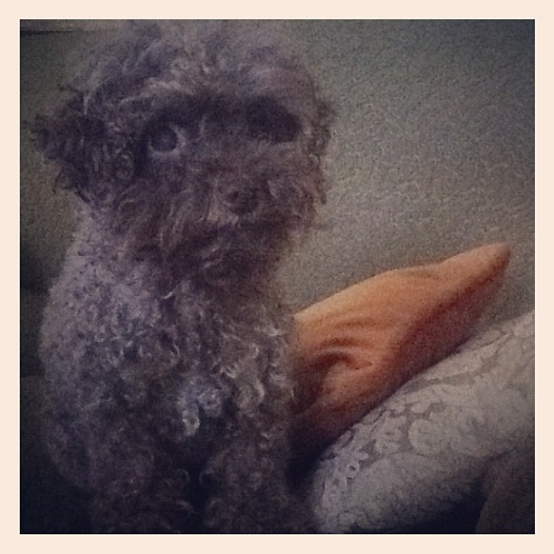 A new friend in Charlotte: Mushroom the mini #poodle (Taken with  Instagram  at Baxter's Cozy airbnb Residence)