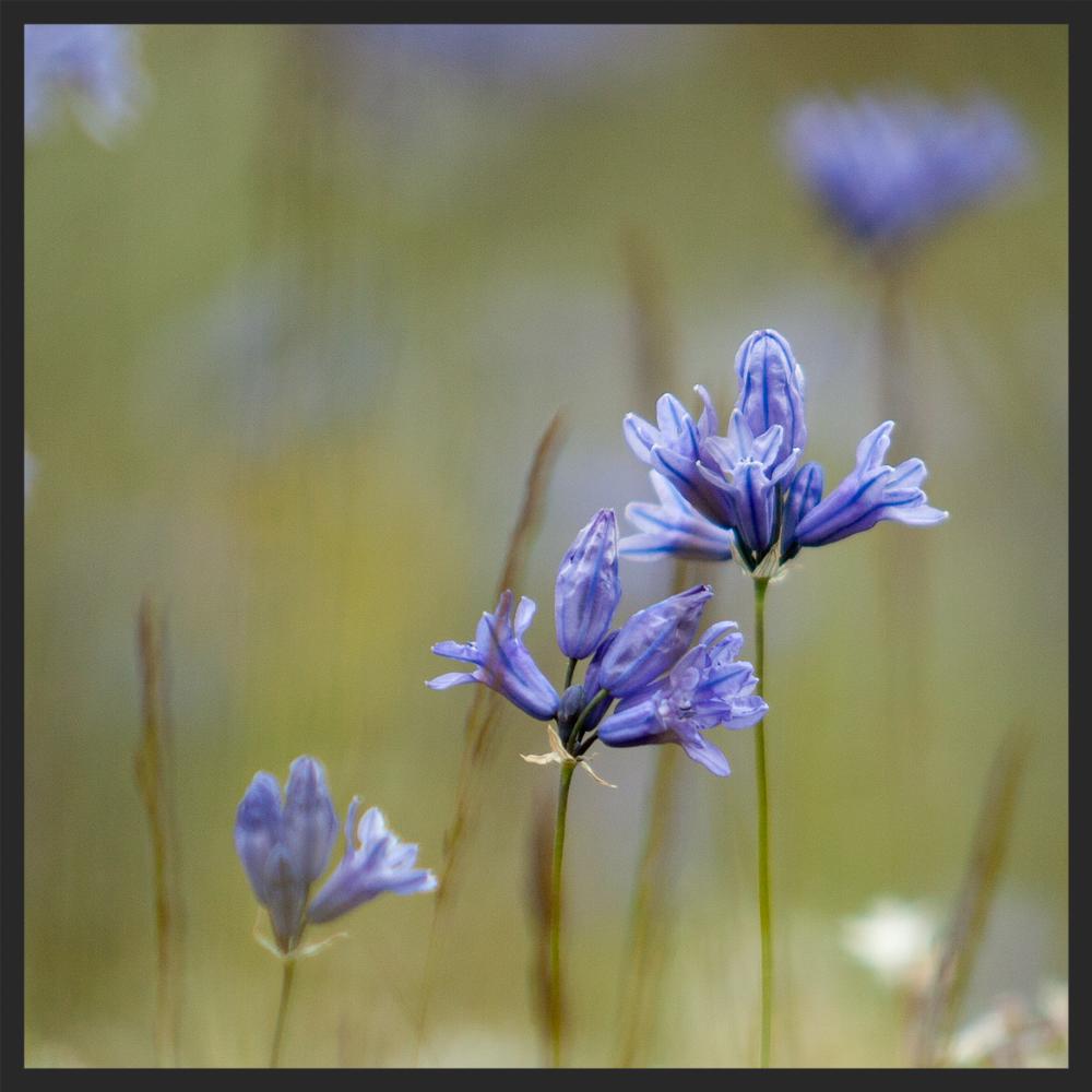 Mosquin-20070512-18203-triteleia-grandiflora-1500sq.jpg