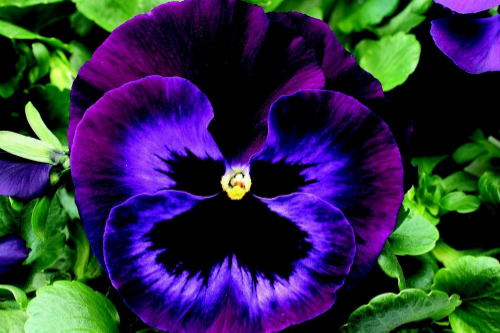 Purple-Pansy-Flower-Pictures.jpg