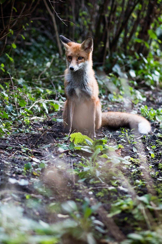 fox (1 of 1).jpg