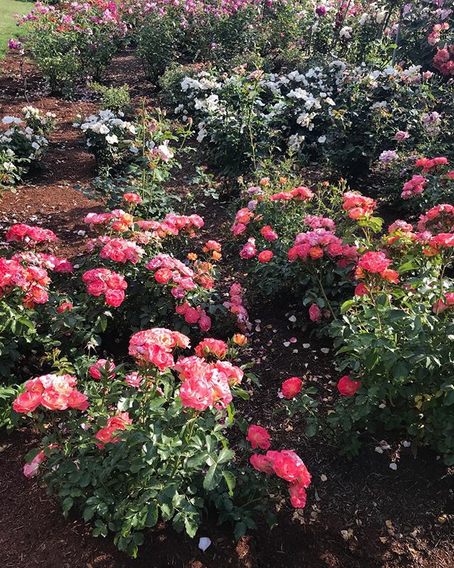 In Portland today sauntering through the Rose Garden. It's a showstopper. I'll flood your feed with photos.