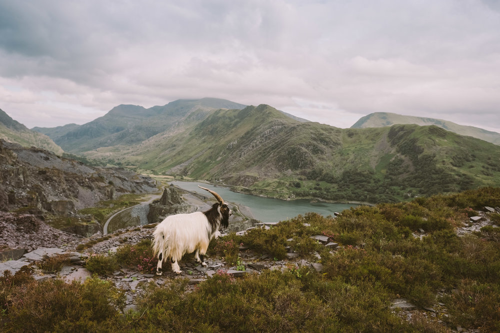 A wild goat on the slopes of the Dinorwic slate quarry, overlooking Snowdonia.