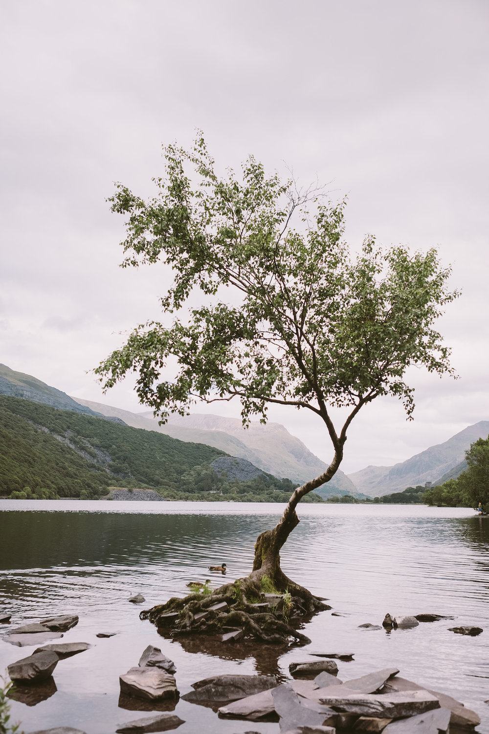 The lone tree at Llyn Padarn.  Fuji X-H1 + 23mm 1.4 Lens