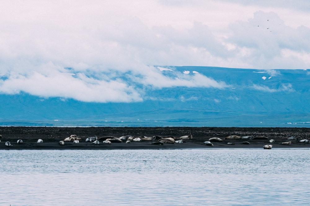 Seals on the Vatnsnes peninsula  [ 64.9128287,-18.1439987]  Fuji X-H1 + 50-140mm 2.8 lens