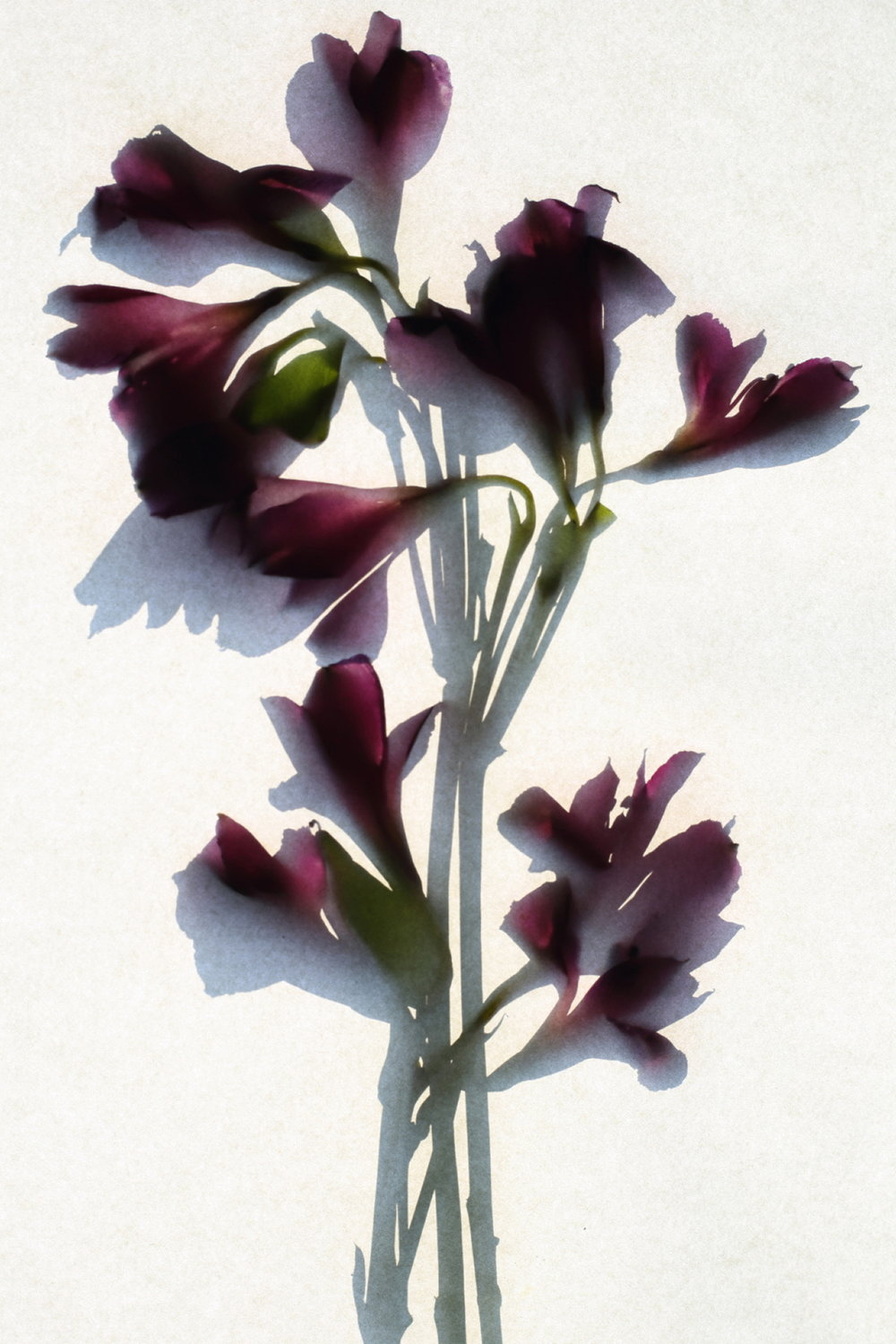 Alstromeria %22purple%22.JPG