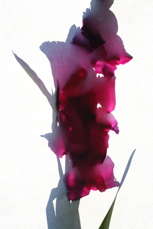 Gladiolus byzantinus.JPG